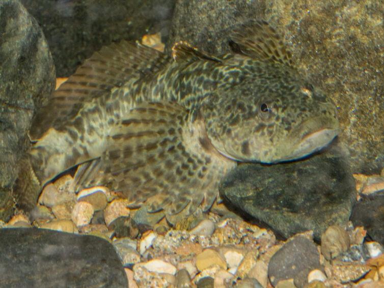 Peixos autòctons